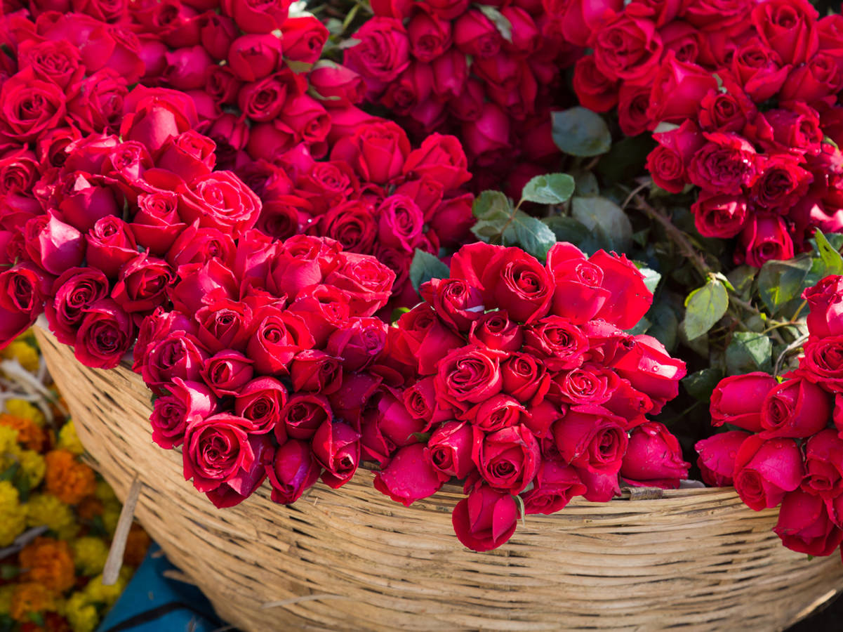 Why is Rose Considered the King of Flowers?   ZTC Shop